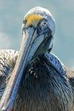 Пеликан Брайна Стоковое Изображение RF