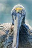 Пеликан Брайна Стоковая Фотография RF