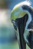Пеликан Брайна Стоковые Изображения RF