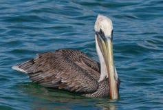 Пеликан 2 Брайна Стоковое Изображение