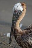 Пеликан Брайна (occidentalis pelecanus) Стоковое Изображение RF