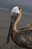 Пеликан Брайна (occidentalis pelecanus) Стоковое Фото