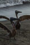 Пеликан Брайна (occidentalis pelecanus) Стоковое Изображение
