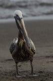Пеликан Брайна (occidentalis pelecanus) Стоковая Фотография
