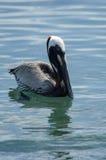 Пеликан Брайна (occidentalis pelecanus) Стоковые Изображения