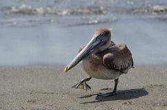 Пеликан Брайна (occidentalis pelecanus) Стоковые Фотографии RF