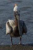 Пеликан Брайна (occidentalis pelecanus) Стоковая Фотография RF