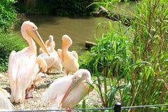 Пеликан вокруг озера Стоковое фото RF