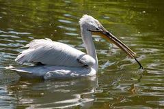 Пеликан в воде стоковое фото rf