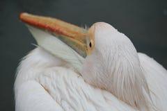 Пеликан в Гайд-парке в Лондоне Стоковые Фотографии RF