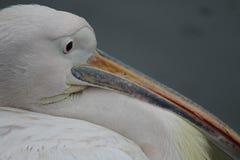 Пеликан в Гайд-парке в Лондоне Стоковые Изображения