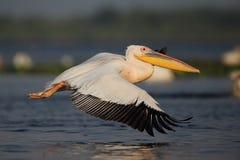 Пеликан в летании Стоковое Изображение