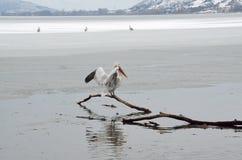 Пеликан в зиме Стоковая Фотография