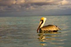 Пеликан в море Стоковая Фотография