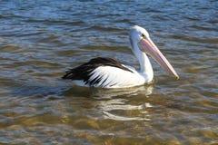 Пеликан в озере, merimbula, Австралия Стоковое Фото