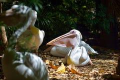 Пеликан в парке животных в Gran Canaria, Испании Стоковое фото RF