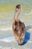 Пеликан в пене океана Стоковые Фотографии RF