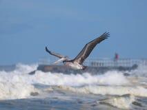 Пеликан в полете Стоковая Фотография