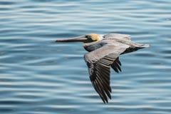 Пеликан в полете Стоковая Фотография RF