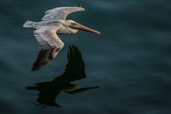 Пеликан в полете Стоковые Фотографии RF