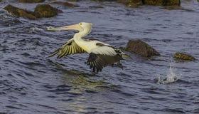 Пеликан в полете Стоковое Изображение