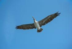 Пеликан в полете Стоковые Изображения