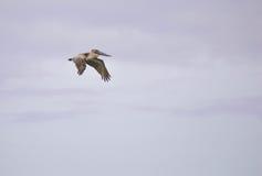 Пеликан в полете Стоковое Изображение RF