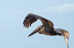 Пеликан - в полете 3 Стоковые Фотографии RF