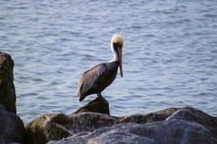 Пеликан в Солнце Стоковое фото RF