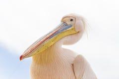 Пеликан в Luderitz, Намибии Стоковое Изображение