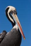 Пеликан в Paracas, Перу Стоковое фото RF