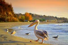 Пеликан гуляя на пляже Стоковое фото RF