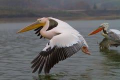 Пеликан летания далматинский, озеро Kerkini, Греция Стоковые Фотографии RF