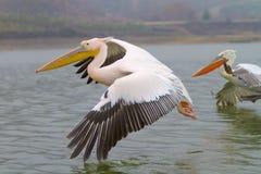 Пеликан летания далматинский, озеро Kerkini, Греция Стоковые Фото