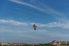 Пеликан летания в Флориде Над портом Стоковая Фотография