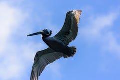 Пеликан летания Стоковые Изображения