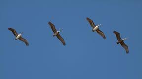Пеликан летая строка Стоковое фото RF