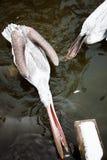 Пеликан имеет обедающий Стоковая Фотография RF
