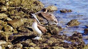 Пеликан 2 коричневого цвета Галвестона Стоковое Фото