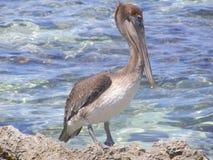 Пеликан который наблюдает кого Стоковое Изображение RF