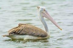 Пеликан крупного плана на воде Стоковые Фото