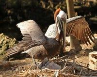 Пеликан матери защищая ее детенышей Стоковая Фотография