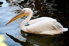 Пеликан между водой Стоковое Изображение