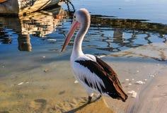 Пеликан на береге в заливе жестяной коробки, Австралии Стоковые Изображения RF
