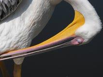 Пеликан на береге Стоковые Фотографии RF