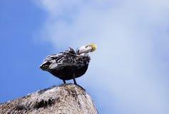 Пеликан на верхней части крыши Стоковые Фотографии RF