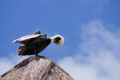 Пеликан на верхней части крыши Стоковая Фотография RF