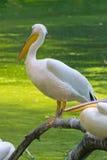 Пеликан на ветви Стоковые Изображения