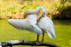 Пеликан на ветви Стоковые Изображения RF