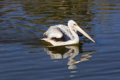 Пеликан на воде Стоковое Изображение RF